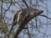 yellow billed hornbill dsc1831