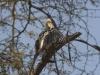 yellow billed hornbill dsc1832