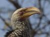 yellow billed hornbill dsc1837