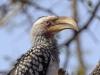 yellow billed hornbill dsc5610