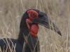 ground hornbill dsc2616-photo-ma-wurster
