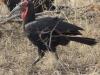 ground hornbill dsc6740
