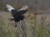 ground hornbill ground hornbill