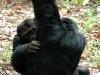 Chimpanzés qui s\'épouillent, montagnes Mahale (Tanzanie)