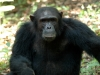 Chimpanzé mâle, montagnes Mahale (Tanzanie)