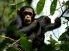 Jeunes chimpanzés qui jouent, montagnes Mahale (Tanzanie)