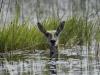 Cobe de Lechwe femelle se cachant des prédateurs dans l\'eau, delta de l\'Okavango (Botswana) © Dana Allen