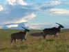Deux élands femelles sur le plateau Nyika, parc national Nyika (Malawi) © Dana Allen