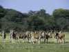 Troupeau d\'élands, parc national Hwange (Zimbabwe) © Dana Allen