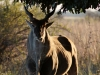 Eland mâle, parc national Mana Pools (Zimbabwe)