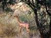 gerenuk-femelle-samburu-kenya-photo-g-et-a-frejaville