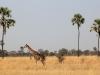 Girafe commune, parc national Hwange (Zimbabwe)