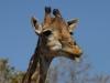Femelle girafe qui tire la langue, parc national Kruger (Afrique du Sud) © A. et M. Allemand