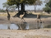 Girafes buvant à un point d\'eau, parc national Hwange (Zimbabwe) © ae
