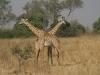 Girafes mâles, parc national Lower Zambezi (Zambie) © ae