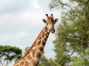 Girafe mâle, parc national Hwange (Zimbabwe)