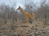 Jeune girafe qui court, parc national Kruger (Afrique du Sud) © A. et M. Allemand