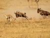 chasse-inversee-gnous-poursuivant-guepard