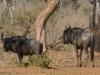 Gnous, parc national Hwange (Zimbabwe) © A. et M. Allemand