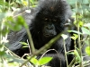 Bébé gorille, parc national Bwindi (Ouganda)