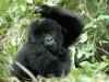 Bébé gorille qui se gratte, parc national Bwindi (Ouganda)