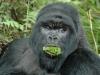 Gorille qui mange, parc national Bwindi (Ouganda)