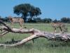 Guépard dans la région de Savuti, parc national de Chobe (Botswana) © Wilderness Safaris