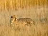 Guépard dans la plaine de Busanga, parc national de Kafue (Zambie) © M. Meyers
