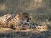 Guépard qui guette, parc national Hwange (Zimbabwe)