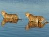 Guépard mâles qui se baignent, Savuti (Botswana) © Didier Benjamin