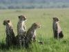 Mère guépard et ses 3 enfants, Masaï Mara (Kenya)