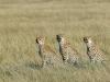 Femelle guépard avec ses deux enfants adultes, Masaï Mara (Kenya)