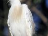 cattle-egret-breeding