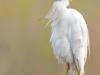 cattle-egret-dos-zebre-1