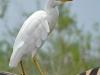 cattle-egret-dos-zebre