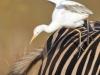 envol-cattle-egret-depuis-dos-zebre-1