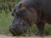 Hippopotame qui broute en regardant le photographe, parc national Kruger (Afrique du Sud) © A. et M. Allemand