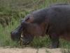 Hippopotame qui broute, parc national Kruger (Afrique du Sud) © A. et M. Allemand