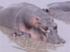 Hippopotame femelle et son petit, fleuve Grumeti, parc Serengeti (Tanzanie)