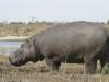 Vieil hippopotame mâle portant des cicatrices de combats, parc national Chobe (Botswana) © ae