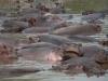 Groupe d\'hippopotames, fleuve Grumeti, parc Serengeti (Tanzanie)