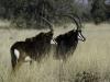 Hippotragues noirs (mâle dominant et jeune mâle), parc national Chobe (Botswana) © Dana Allen