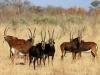 Hippotragues noirs femelles avec leurs petits, parc national Hwange (Zimbabwe)
