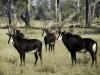 Troupeau d\'hippotragues noirs, parc national Chobe (Botswana) © Dana Allen