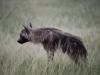 Hyène brune, parc Central Kalahari (Botswana) © Mike Meyers