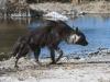 Hyène brune près de l\'eau, parc Central Kalahari (Botswana) © Mike Meyers