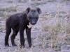 bébé hyene tachetée kalahari transfrontier park - Afrique du Sud