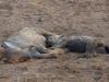 Hyènes tachetées qui se reposent, parc national Kruger (Afrique du Sud)