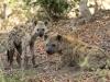 Couple de hyènes tachetées, delta de l\'Okavango (Botswana) © Dana Allen