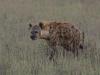 Hyène tachetée dans les hautes herbes, parc national Kruger (Afrique du Sud)